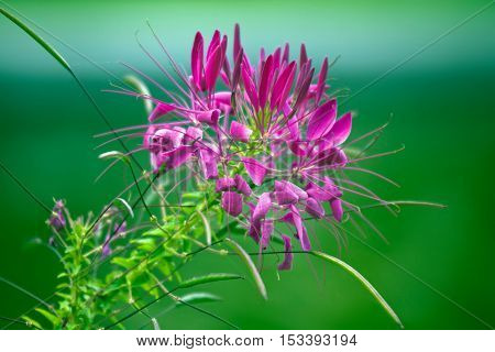 Purple flower in summer garden.  Green background