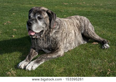 Senior English Mastiff Dog on the Grass Laying Down