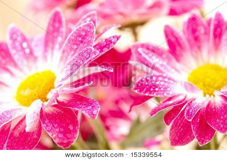 Closeup of two pink daisy-gerbera with waterdrops