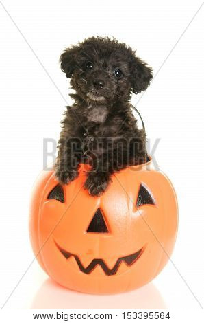 Cute Black Poodle Puppy in a plastic jack o' lantern pumpkin for Halloween on a white background