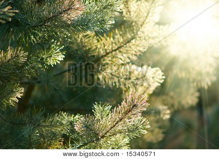 Frozen Pine tree branches