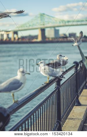 Birds on the Railing with Jacques-Cartier Bridge of Montreal Quebec Canada Background