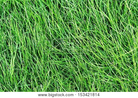 green lawn of grass close-up as background