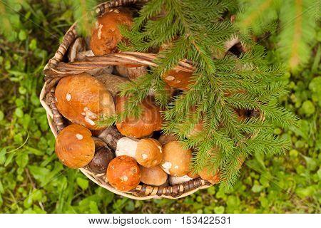Fresh Edible Mushrooms Boletus Edubil In Wicker Basket With Fir Branch On Green Grass In Forest Top View. Harvesting Mushrooms. Edible Mushrooms In Basket.
