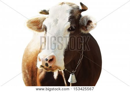 Cow on white background, closeup. Farm animal concept.