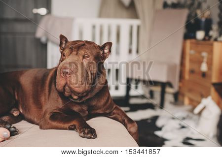 beautiful brown shar pei dog relaxing at home on cozy couch
