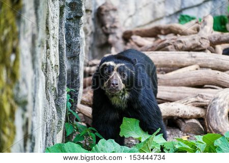 A spectacled bear walking along some rocks