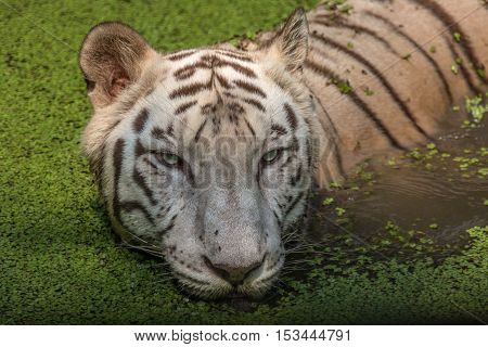 White Bengal tiger portrait close up head shot. White tiger in a swamp at Sunderban National Park.