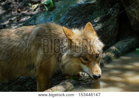 A thirsty wolf drinking some water and looking into the camera