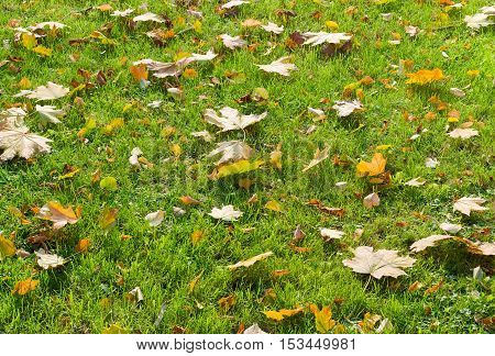 Background of a lawn with green grass and autumn fallen leaves among the grass