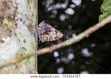 Blue Begum Butterfly