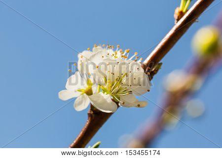 White Wild Himalayan Cherry Flowers
