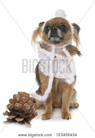dressed chihuahua in front of white background