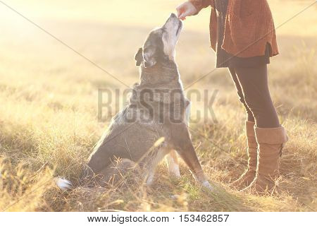 A german Shepherd Border Collie Mix Breed Dog is Sitting good for his owner and reaching up to get a treat during obedience training.