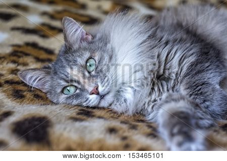 cute funny siberian gray cat with greeen eyes Relaxing lying on the plaid domestic cat resting elegant cat
