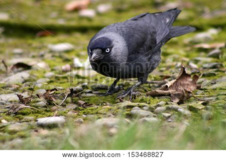 A Jackdaw crouching behind a patch of grass