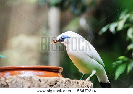 Bali Myna (Leucopsar rothschildi) bird near the feeders.