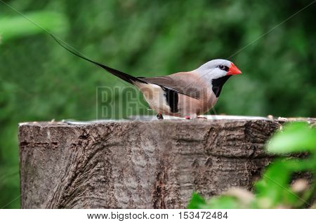 Zebra Finch on a tree stump. Taeniopygia guttata