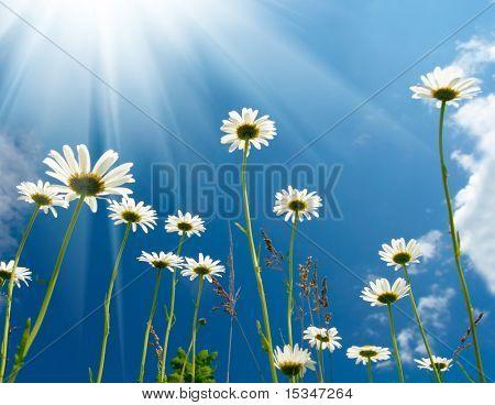 蓝色天空背景上的白色雏菊