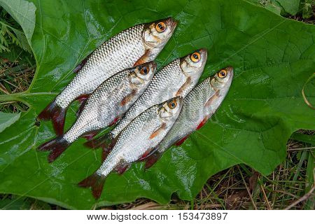 Pile Of The Common Rudd Fish On Natural Background.