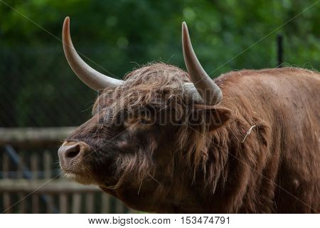 Scottish highland cattle (Bos primigenius taurus). Domestic animal.
