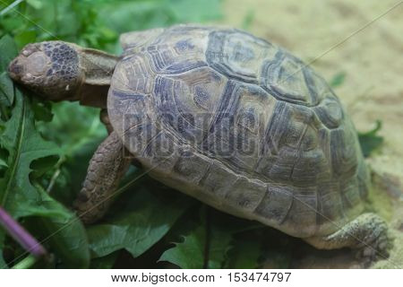 Russian tortoise (Agrionemys horsfieldii), also known as the Central Asian tortoise or Horsfield's tortoise. Wildlife animal.