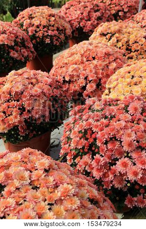 Rows of pretty potted plants with the colorful petals of Hardy Mums.
