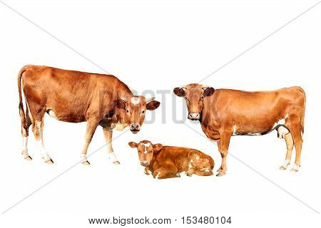 brown cows bull calf isolated on white background