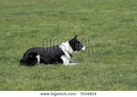 Working border collie in the down poisition while herding sheep poster