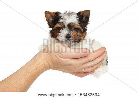 Biewer York Puppy In Hand