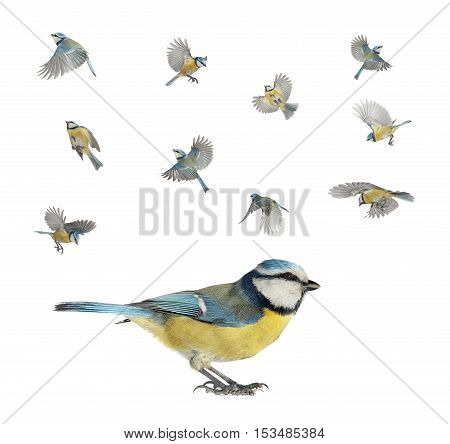 version of flight of a titmouses isolated on white, studio shot
