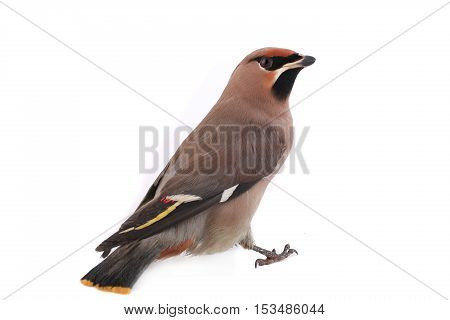 Bohemian Waxwing on a white background, studio shot