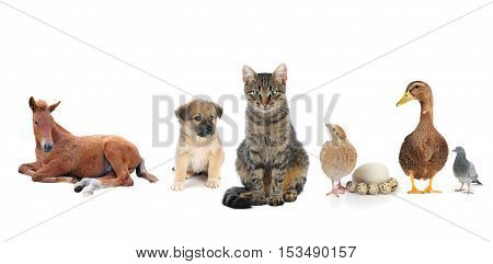 the a livestock on a white background