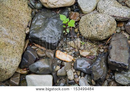 Small green plant sprout through stony ground. Different pebbles surrounding the sprout.