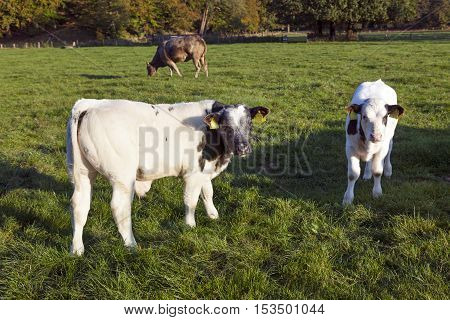 two young bull calfs in green meadow with cow in the background near Driebergen in the Netherlands