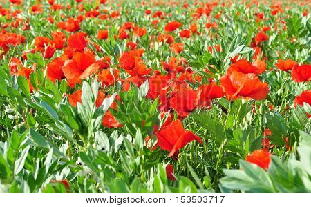 Green and red field of poppies in spring