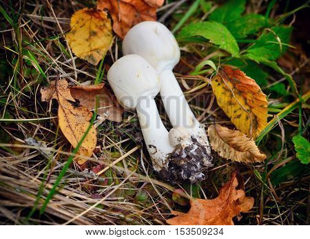 Fresh Agaricus mushrooms (Agaricus arvensis) is edible on the grass with autumn leaves.
