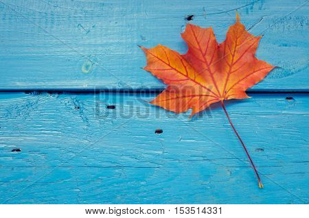 Autumn background with red fall maple leaf on blue rustic wooden table with place for text. Thanksgiving autumn holidays background concept. Red autumn leaf. Copy space. Top view.