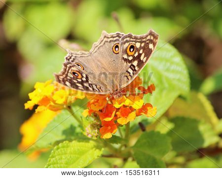 Close up of Junonia lemonias - Lemon pansy sucking honey from the flower - Butterflies of the Indian subcontinent. It is brown butterfly with large