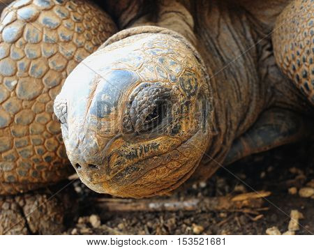 Big Aldabra tortoise eye detail in Mauritius.