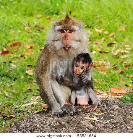 Macaque monkey and its small child - portrait in wildlife nature, island Mauritius.