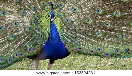 Male Peacock showing off tail feather plumage