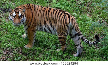 Female Amur Siberian tiger at Minnesota Zoo