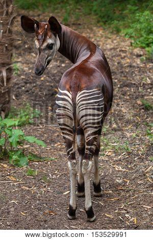 Okapi (Okapia johnstoni). Wildlife animal.
