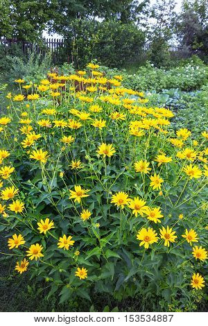 Sunflower tuber (lat. Helianthus tuberosus) is a perennial herbaceous tuber genus in the Sunflower of Aster family (Asteraceae). Grown plant in the garden