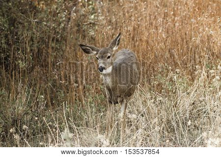 White tail in the tall grass on Sun Mountain near Winthrop Washington.