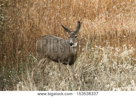 Deer in the dry grass on Sun Mountain near Winthrop Washington.