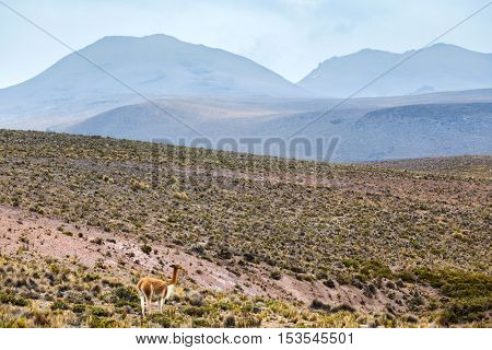 beautiful vicuna in the highlands of Peru