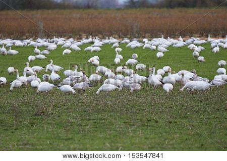 Snow Goose in green field Vancouver Canada