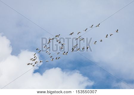 Snow geese flying north in march Vancouver Canada